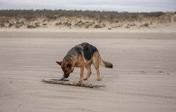 Beautiful Alsation dog playing with a stick on the beach. In winter royalty free stock image