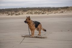 Beautiful Alsation dog playing with a stick on the beach. In winter stock image