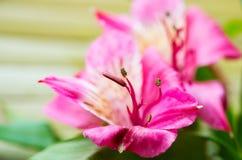 Beautiful alstermeries, macro shot Royalty Free Stock Photography