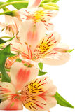 Beautiful alstroemeria. Vertical alstroemeria isolated on white background stock photos
