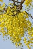 Beautiful Amaltass flowers Royalty Free Stock Photography