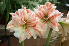 Amarilis two big flowers stock images