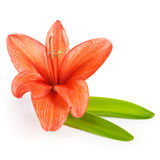 Beautiful Amaryllis Royalty Free Stock Image