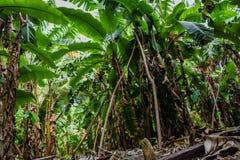 Beautiful amazing bananas tropical forest at Maldives Royalty Free Stock Photos