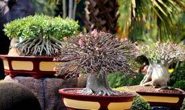 Beautiful amazing bonsai Royalty Free Stock Image