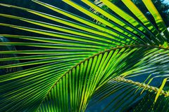 amazing closeup detailed view of a natural green palm leaf, lit by sun rays in tropical garden Royalty Free Stock Photography
