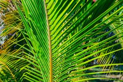 Amazing closeup detailed view of a natural green palm leaf, lit by sun rays in tropical garden Stock Photography