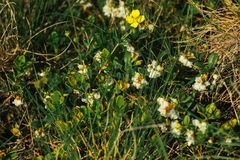 Beautiful amazing  flowers on background of sunny grass in summer woods Royalty Free Stock Photos