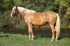 Beautiful amazing palomino warmblood with blond hair. In autumn Royalty Free Stock Photos