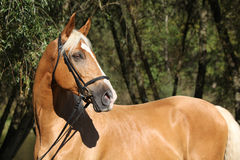 Beautiful amazing palomino warmblood with blond hair Royalty Free Stock Photography