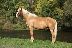 Beautiful amazing palomino warmblood with blond hair. In autumn Stock Photo