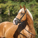 Beautiful amazing palomino warmblood with blond hair Royalty Free Stock Images