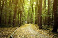 Beautiful amazing path road through the trees in autumn forest with fallen yellow leaves concept Stock Image
