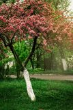 beautiful amazing pink blooming tree in spring sunny countryside stock image