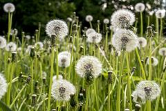 Beautiful Amazing Vibrant Dandelion Flowers In The Field During Summer Time Royalty Free Stock Photography