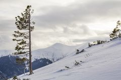 Beautiful amazing wide view winter landscape. Tall pine tree alone on mountain steep slope in deep snow on cold frosty sunny day stock image