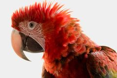 Amazonian Red Macaw. The beautiful amazonian macaw, a typical species of southern Venezuela Stock Photos