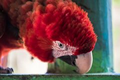 Amazonian Red Macaw. The beautiful amazonian macaw, a typical species of southern Venezuela Royalty Free Stock Images