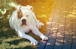 Beautiful american bulldog Stock Image