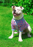 Beautiful american buuldog in shirt Royalty Free Stock Photography