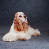 Beautiful  american cocker spaniel of gray background Stock Images