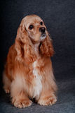 Beautiful american cocker spaniel sitting in front of gray backg Royalty Free Stock Photos