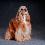 Beautiful american cocker spaniel sitting in front of gray backg Royalty Free Stock Photo