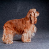 Beautiful american cocker spaniel sitting in front of gray backg Stock Photography