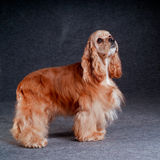 Beautiful american cocker spaniel sitting in front of gray backg Stock Images