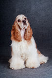 Beautiful american cocker spaniel sitting in front of gray backg Royalty Free Stock Images