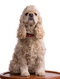 Beautiful american cocker spaniel Stock Photo