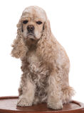 Beautiful american cocker spaniel Stock Photography