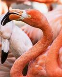 Beautiful American flamingo (Phoenicopterus ruber) Stock Photo