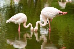 Beautiful American Flamingos Royalty Free Stock Photo