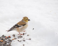 Beautiful American Goldfinch Royalty Free Stock Images