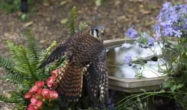 Beautiful American Kestrel Stock Images