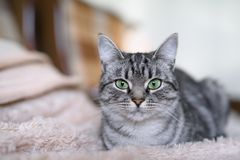 Beautiful American Shorthair cat with green eyes. Part2. Stock Photos