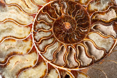 Beautiful ammonite mineral Stock Images
