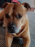 Beautiful amstaff pitbull stock photography