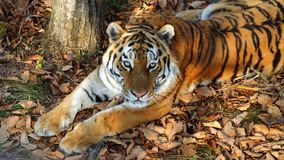 Beautiful amur tiger lies and stares at someone. Primorsky Safari park, Russia. Beautiful amur tiger is lying on dried leaves and staring at someone. Primorsky stock video footage