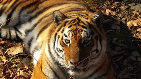 Beautiful amur tiger lies and stares at someone. Primorsky Safari park, Russia. Close portrait of amur tiger is lying on dried leaves and looking at someone stock video footage