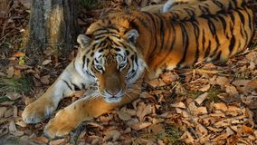 Beautiful amur tiger lies and stares at someone. Primorsky Safari park, Russia. Beautiful amur tiger is lying on dried leaves and staring at someone. Primorsky stock footage