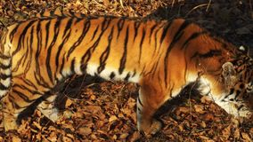 Beautiful amur tiger looks at someone. Primorsky Safari park, Russia. Great amur or ussuri tiger is looking at someone. Primorsky Safari park, Russia, was stock footage
