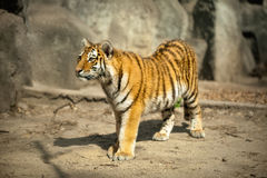 Beautiful  amur tiger Stock Photos