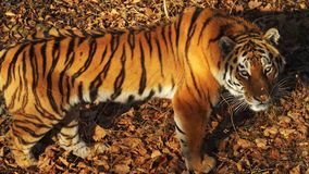 Beautiful amur tiger stares at someone. Primorsky Safari park, Russia. Great amur or ussuri tiger stares at someone. Primorsky Safari park, Russia, was founded stock footage