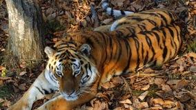 Beautiful amur or ussuri tiger is lying in Primorsky Safari park, Russia. Beautiful and strong amur or ussuri tiger is lying under a tree in Primorsky Safari stock video footage