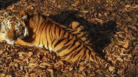 Beautiful amur or ussuri tiger is lying in Primorsky Safari park, Russia. Beautiful amur or ussuri tiger is lying on dried leaves and looking at someone stock video