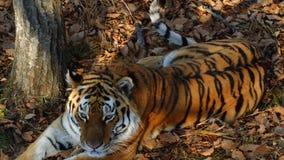 Beautiful amur or ussuri tiger is lying in Primorsky Safari park, Russia. Beautiful and strong amur or ussuri tiger is lying under a tree in Primorsky Safari stock footage