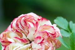 Beautiful ancient climbing rose, pierre de ronsard Royalty Free Stock Photos