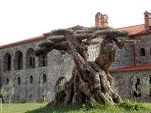 Beautiful ancient tree, Georgia stock photo